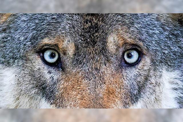 Wolf steht im Mittelpunkt