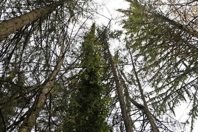 Der Jahresgewinn aus dem Stadtwald Stühlingen bricht ein