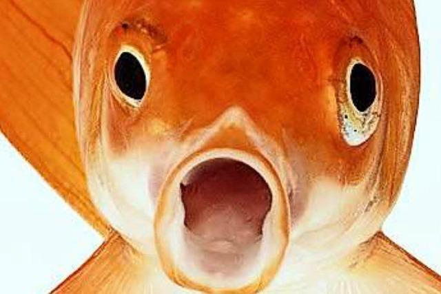 Haben Goldfische wirklich so ein schlechtes Gedächtnis?