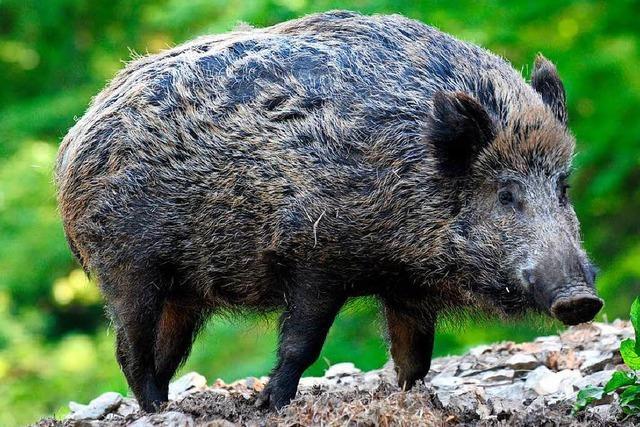 Pkw-Fahrer kollidiert mit Wildschweinrotte bei Sexau