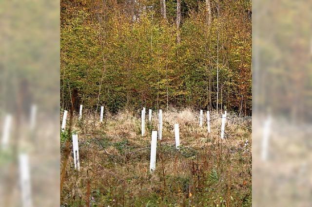 2000 Eichen für den Auenwald