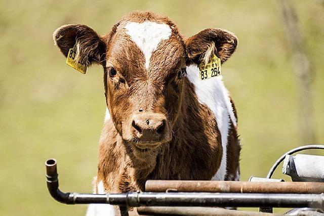 Auf Schritt und Tritt mit der Kuh