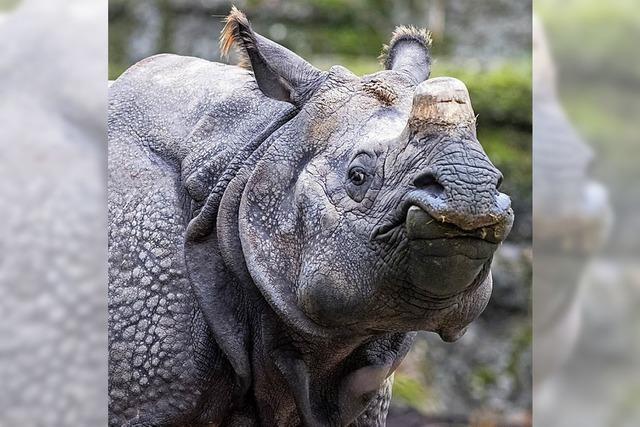 Nashorn-Kuh Saar verlässt den