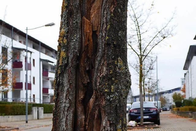 Baumpflege kostet immer mehr Geld