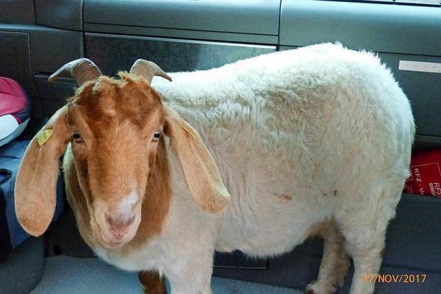 Trächtige Ziege nimmt die Autobahn, um zu ihrem Bock zurückzukehren