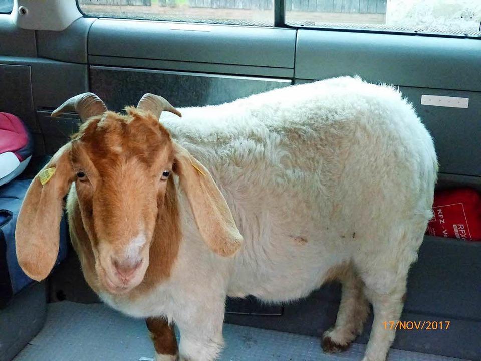 Ein tierlieber VW-Busfahrer hat die trächtige Ziege in Sicherheit gebracht.  | Foto: Polizei