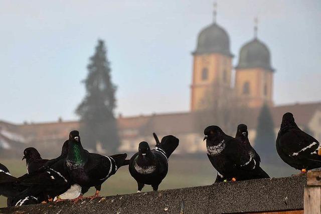 Diese Tauben sind echte Stars