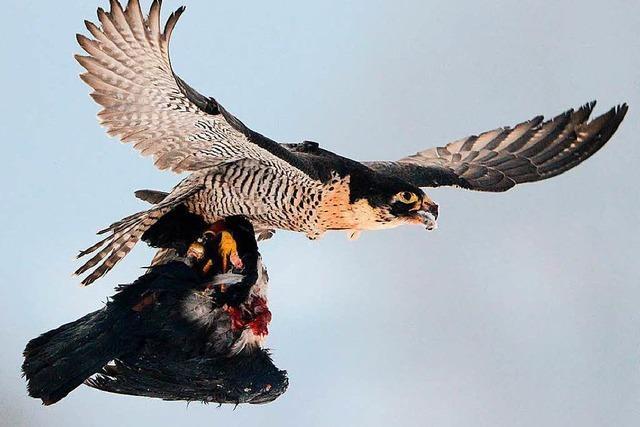Falken erobern die Metropolen der Welt