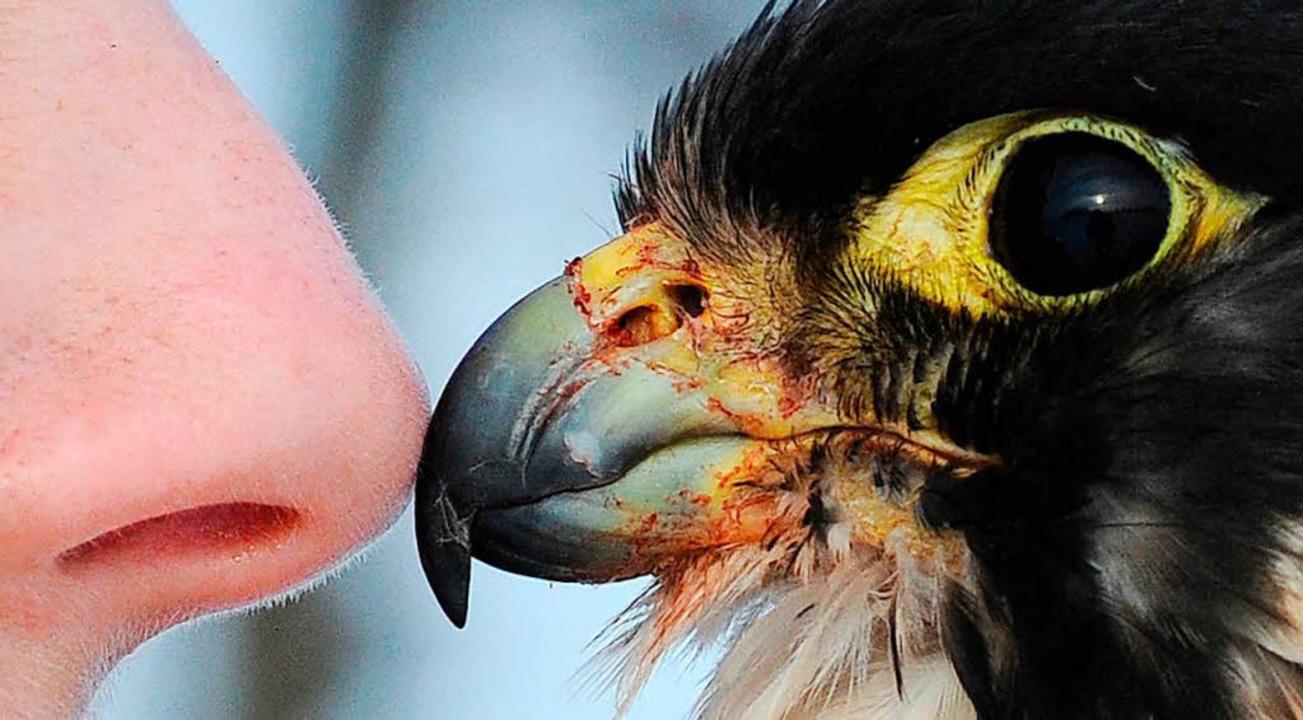Eskimokuss der speziellen Art: Eine Falknerin begrüßt ihren Vogel.  | Foto: Julian Stratenschulte