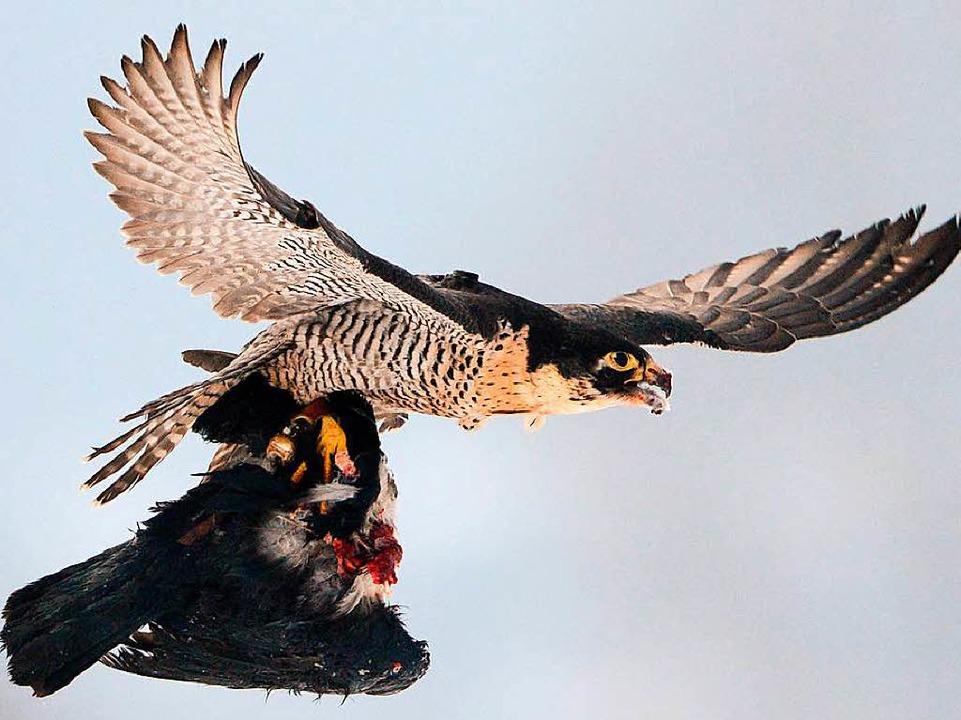 Begnadeter Jäger: Wanderfalke mit Krähe  | Foto: Julian Stratenschulte