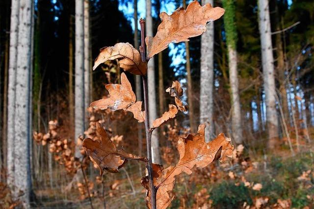 Schwörstadt: Forst leidet am Klimawandel