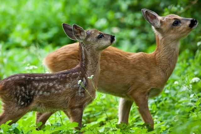 SPD in Todtnau sieht Wildtiere im Stadtwald in Gefahr