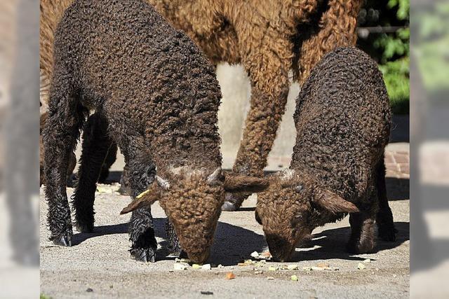 Tierpark Lange Erlen künftig ohne Schafe