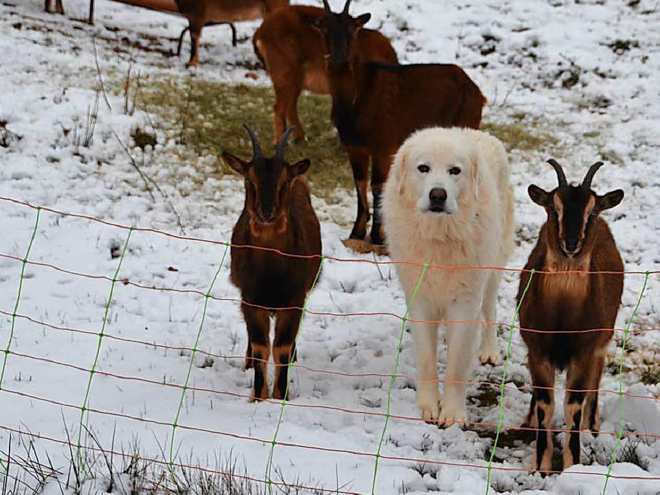 Aufmerksam verfolgt Herdenschutzhund L...lreichen Besucher im Auge zu behalten.  | Foto: Christiane Sahli