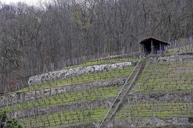 Rinder sollen den Schlossberg retten