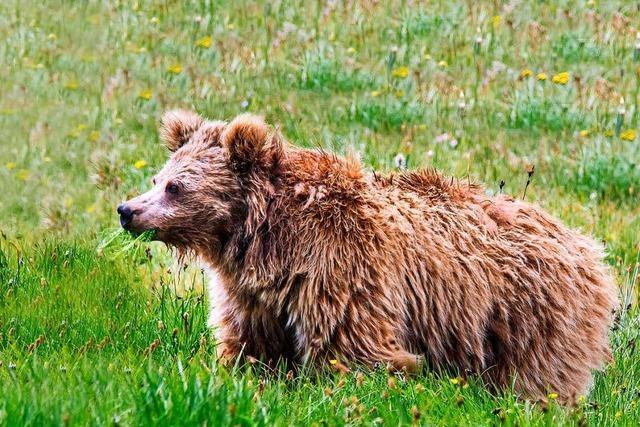 DNA zeigt: Angebliche Yetis waren wohl Bären