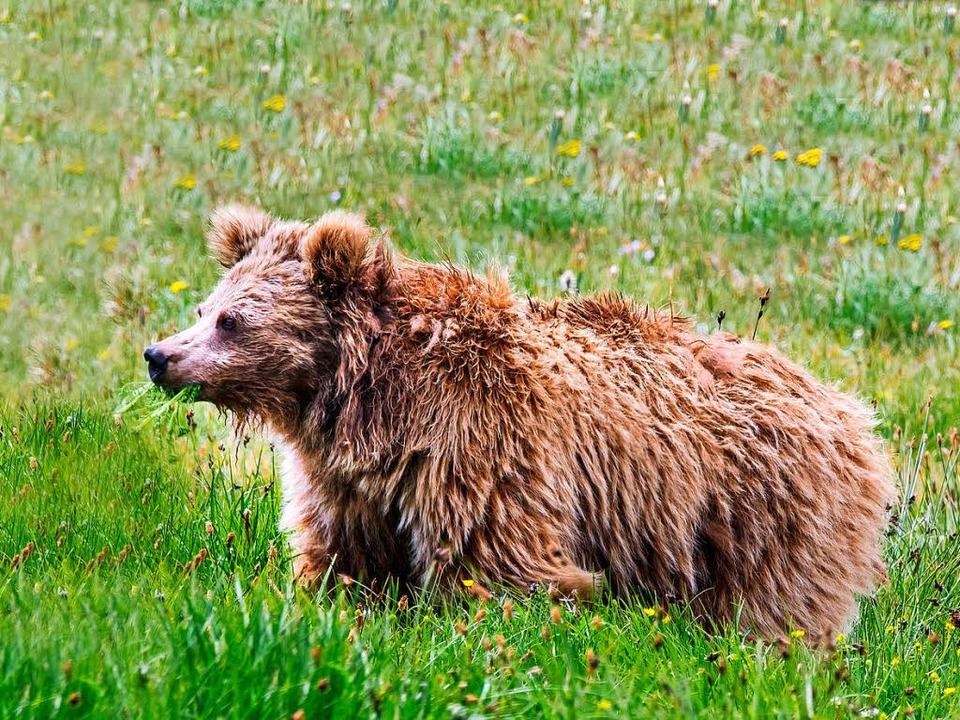 Kein Yeti, sondern ein Bär.  | Foto: dpa