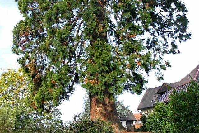 Vermessen: Eichsels Mammutbaum ist doch nicht der höchste Weihnachtsbaum Europas