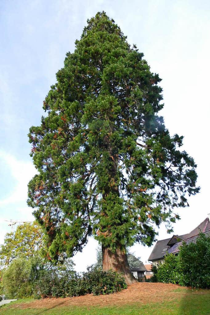 vermessen eichsels mammutbaum ist doch nicht der h chste. Black Bedroom Furniture Sets. Home Design Ideas