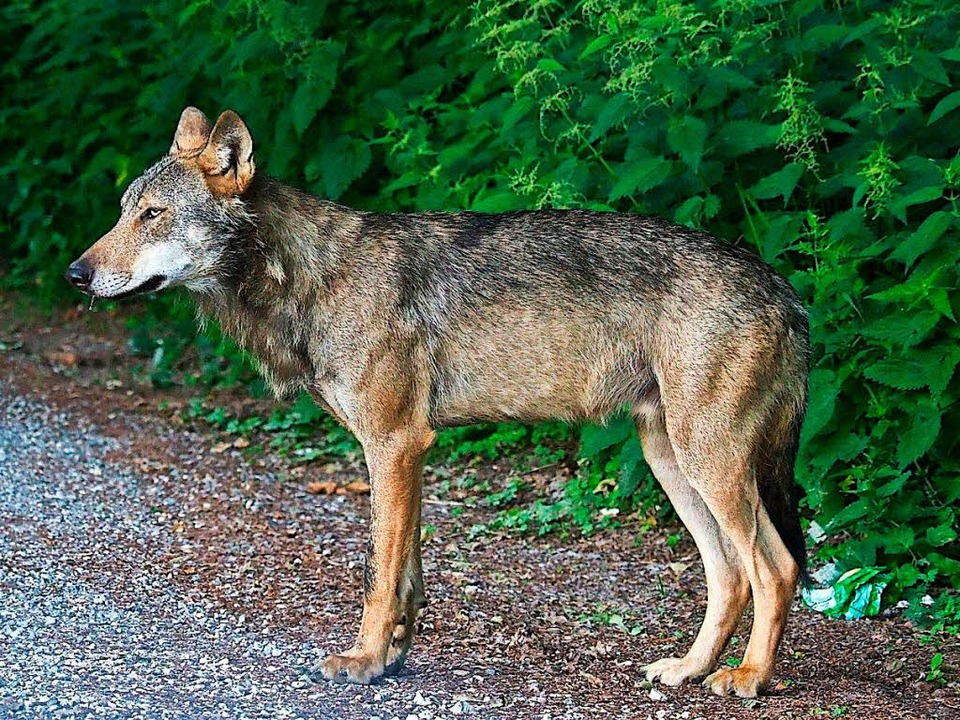 Die Spekulationen um einen Wolf, der e...rissen haben soll, schießen ins Leere.  | Foto: dpa