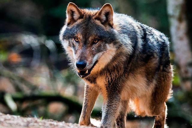EU-Kommissar: Wolf bleibt besonders geschützt