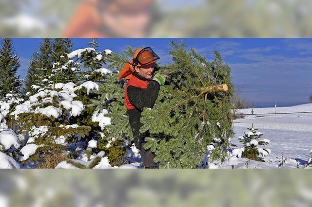 Nordmanntannen sind als Christbäume sehr beliebt