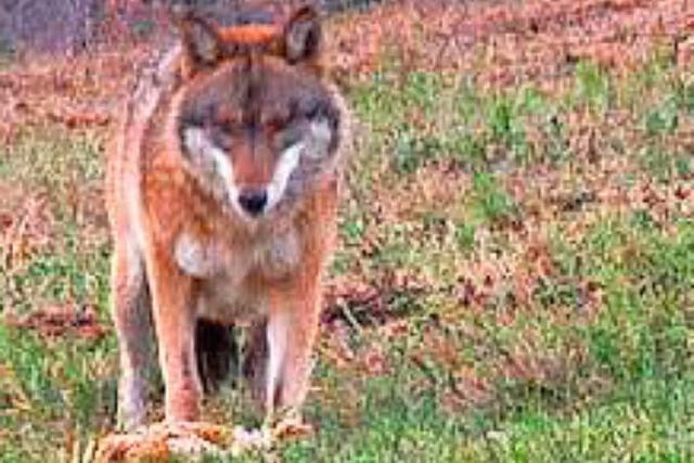 Verdacht bestätigt: Wolf hat Schafe bei Bad Wildbad gerissen