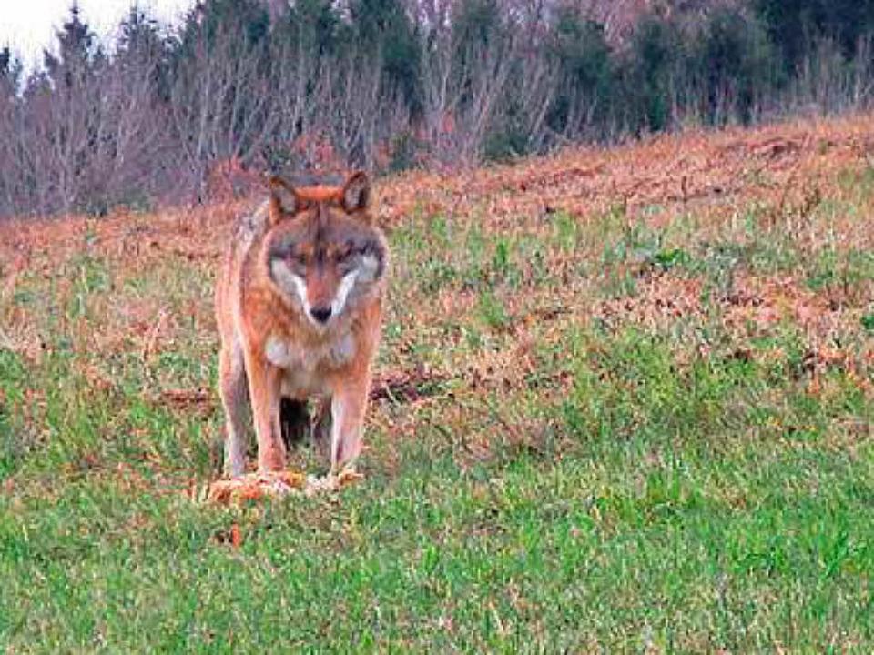 Ein Wolf steht Ende November mit seine...ad Kreuzen in Österreich. (Symbolbild)  | Foto: dpa