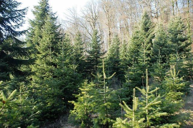 30 Tannenbäume und Kettensäge in Lörrach gestohlen