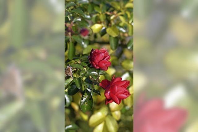 Rote Rosen im Dezember