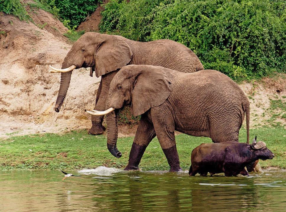 Friedliches Miteinander: zwei Elefanten und ein Büffel  | Foto: dpa-tmn