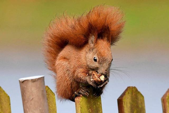 Wie finden Eichhörnchen im Winter ihre Nüsse wieder?