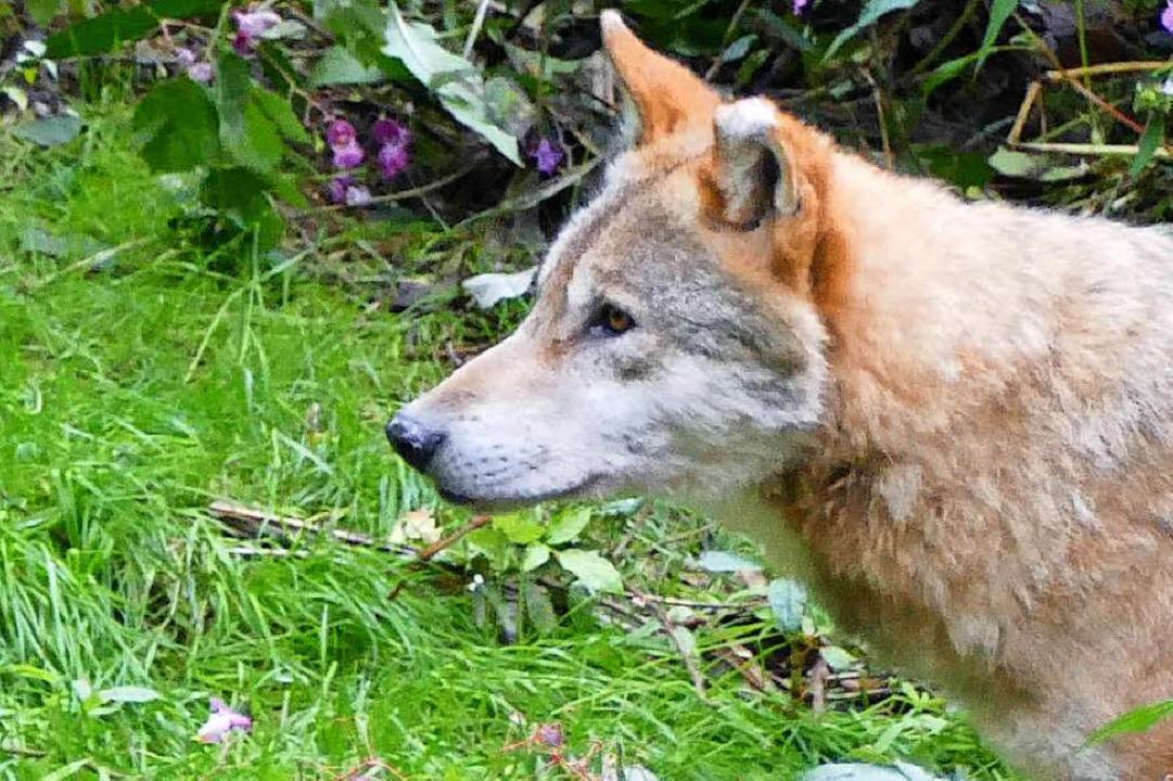 Im Alternativen Park leben derzeit sieben Wölfe.  | Foto: park