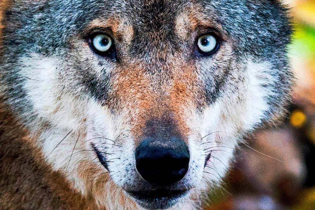 Ein Wolf hat in der Nähe von Freudenstadt Hirsche gerissen. (Symbolbild)  | Foto: dpa