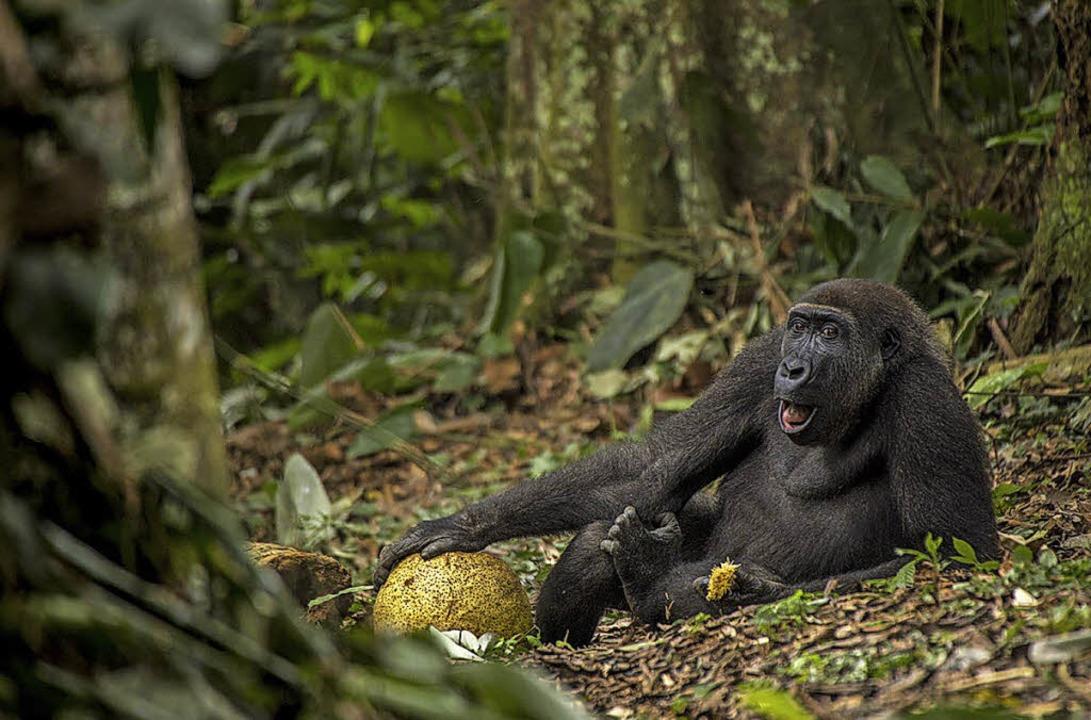 Das Foto dieses   jungen Gorillas aus ...orischen Museum in Basel zu bestaunen.  | Foto: daniel nelson