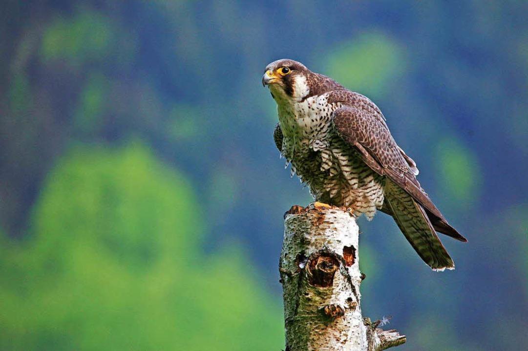 Der Wanderfalke zählt im Südschwarzwald zur Population der geschützten Tiere.  | Foto: Christian Harms