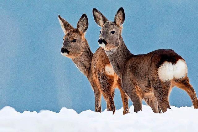 Jäger im Landkreis Lörrach erhalten Sondergenehmigung, um Rehe im Winter zu füttern