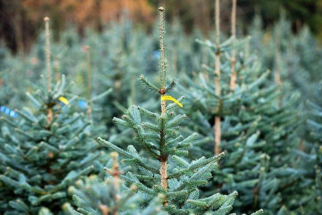 Im Kreis Emmendingen wachsen Weihnachtsbäume in speziellen Kulturen heran
