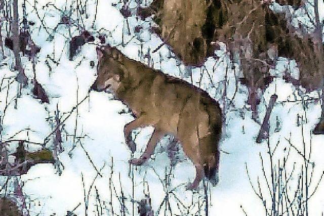 Touristen sichten und fotografieren einen Wolf im Hochschwarzwald