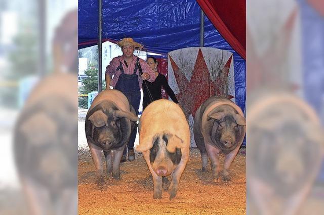 Flinke Schweine in der Manege