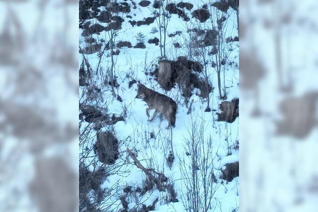 Ein Wolf im Hochschwarzwald