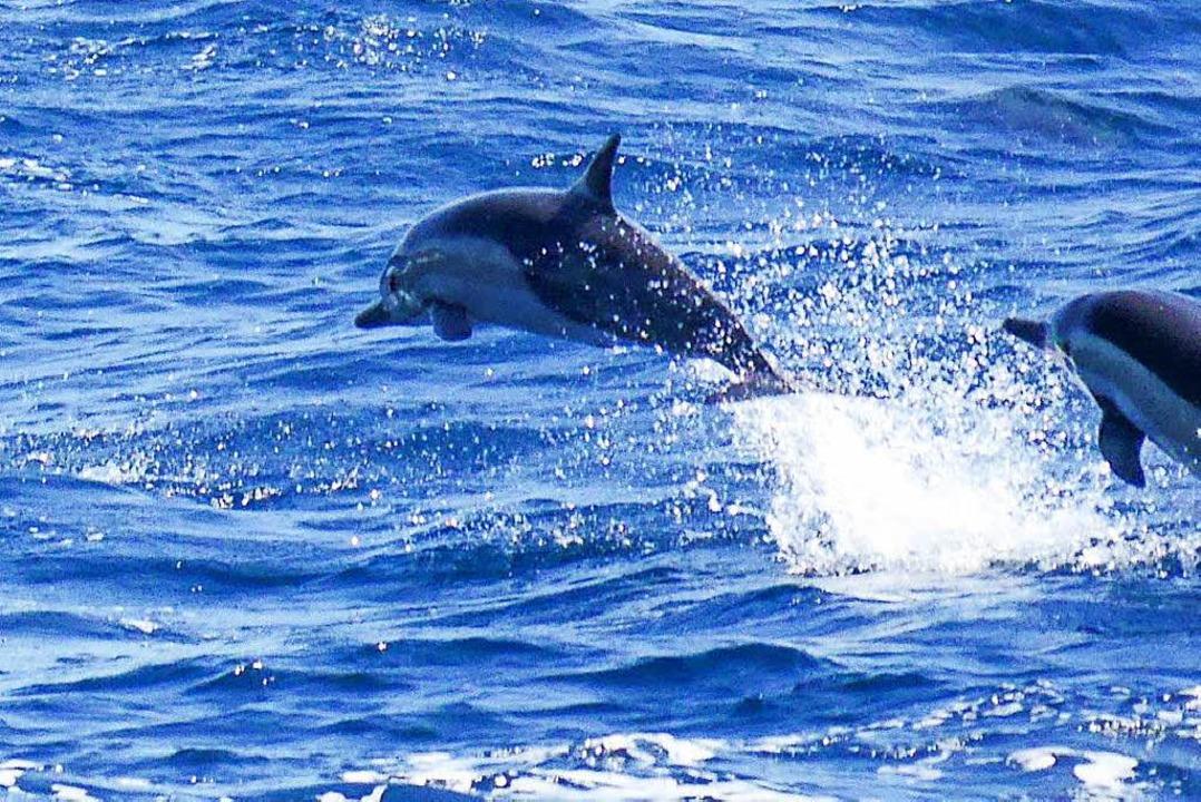 Delfine Im Mittelmeer