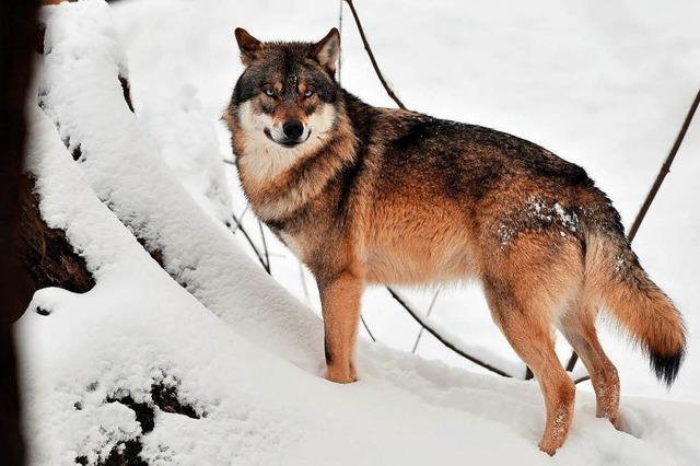 Das Rehkitz soll nicht der Wolf gerissen haben