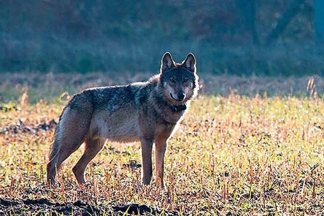 Land will Methoden zur Abwehr von Wölfen erproben