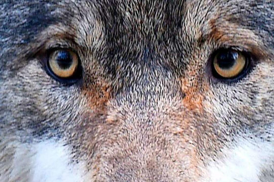 Mag Schafe: der Wolf  | Foto: dpa