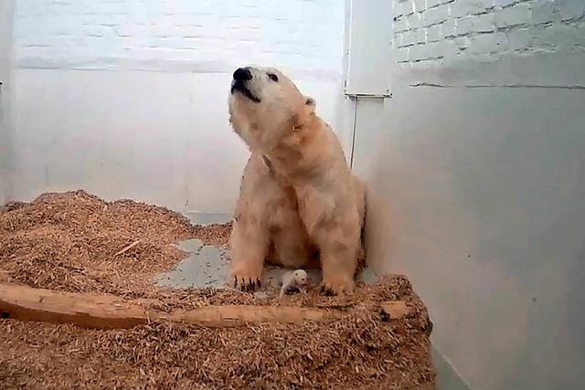Nach nur 26 Tagen: Berliner Eisbärenjunges ist tot