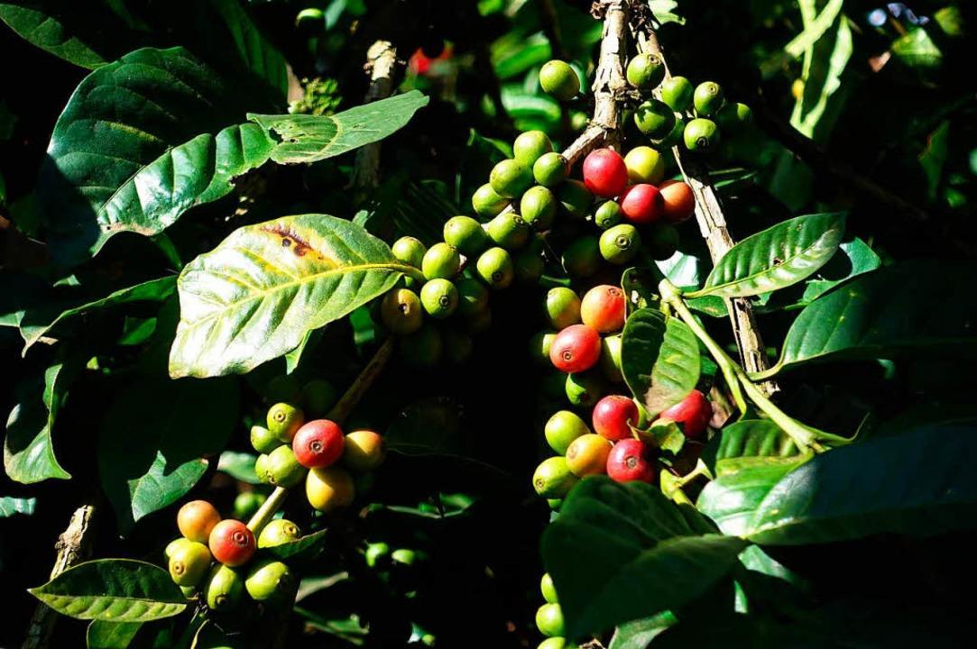 Kaffeebohnen der Sorte Arabica wachsen an einem Strauch.  | Foto: Jens Kalaene