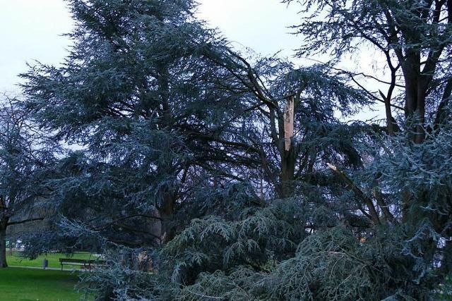 Burglind fällt in Rheinfelden etliche Bäume