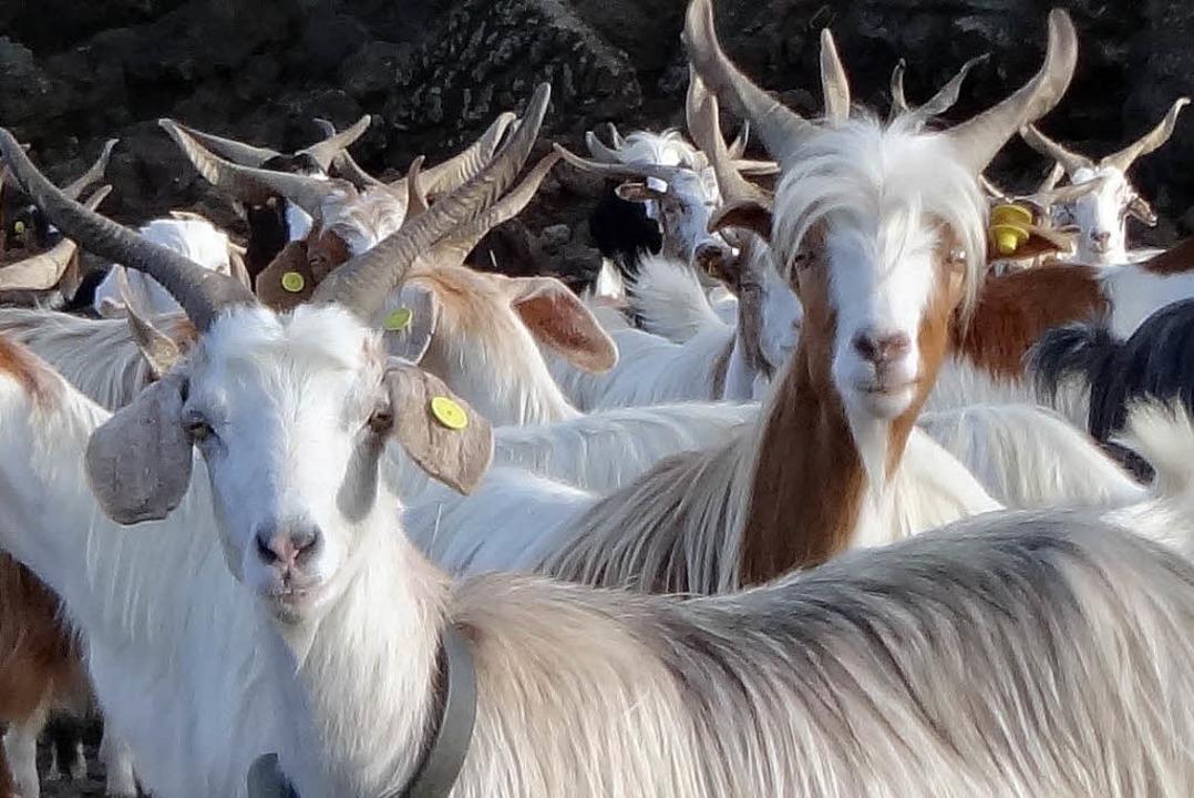 Die Ziegen am Ätna spüren im Voraus, w...eil durch einen Vulkanausbruch droht.   | Foto: MPI/dpa