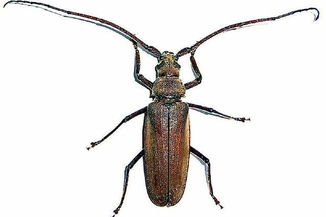 Rettungsaktion für seltene Käferlarven in gefällter Kastanie